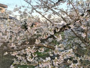 今年の桜の満開早くないですか‼猫好きな人へ‼見学会のご案内
